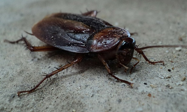 cockroach-70295_1280