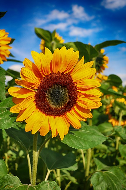 sunflower-1621990_640